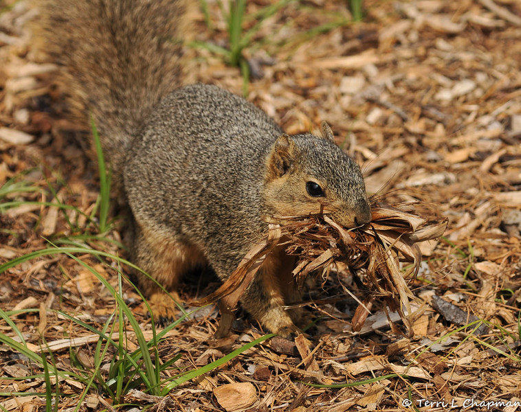 A female Fox Squirrel carrying a mouth full of nesting material