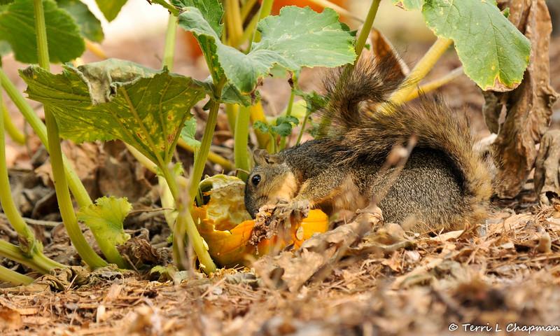 A Fox Squirrel having a breakfast of pumpkin