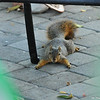 A Fox Squirrel trying to stay cool on my patio during a very hot summer day