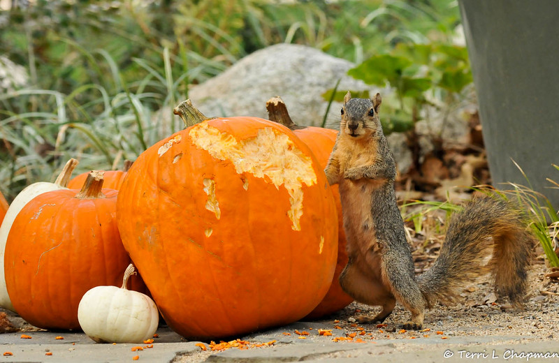 A Fox Squirrel caught in the act of eating a pumpkin, which was part of the Autumn display at Descanso Gardens