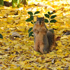 A Fox Squirrel amongst a litter of winter leaves