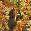 A Fox Squirrel eating berries from a Nevin's Barberry bush
