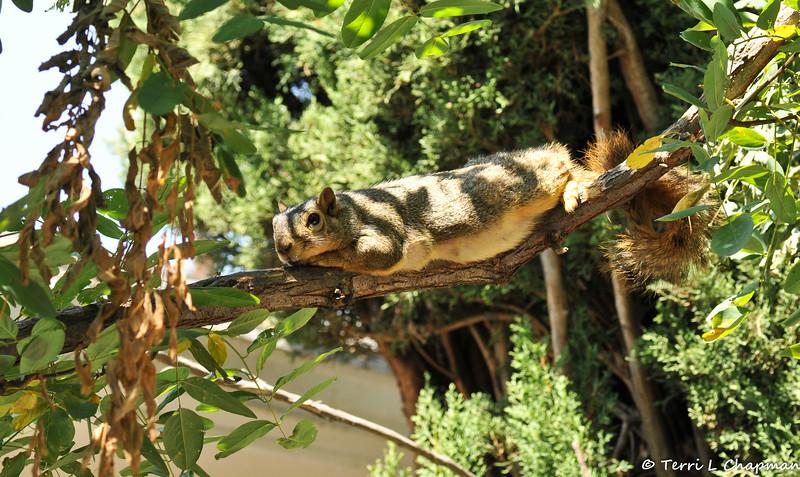 A Fox Squirrel reclining in my backyard