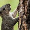 A Grey Squirrel photographed in the Angeles National Forest. He has bits of pine cone on his face.