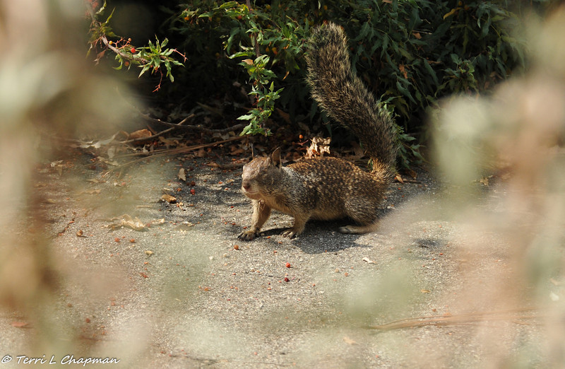 A one-eyed juvenile Ground Squirrel