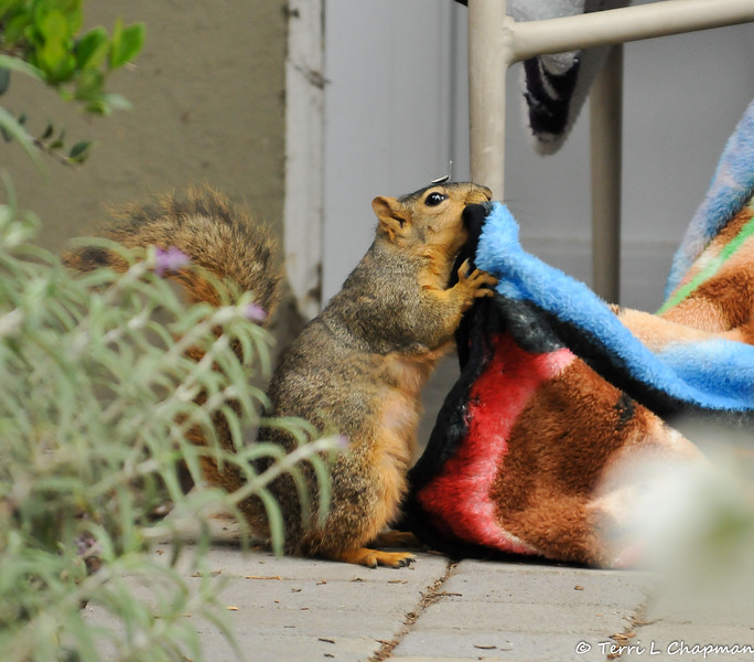 "A female Fox Squirrel ripping at my ""Big Bang Theory"" fleece blanket so she can take the pieces of blanket back to her nest! Can you see the empty sunflower seed on her head?"