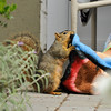 """A female Fox Squirrel ripping at my """"Big Bang Theory"""" fleece blanket so she can take the pieces of blanket back to her nest! Can you see the empty sunflower seed on her head?"""