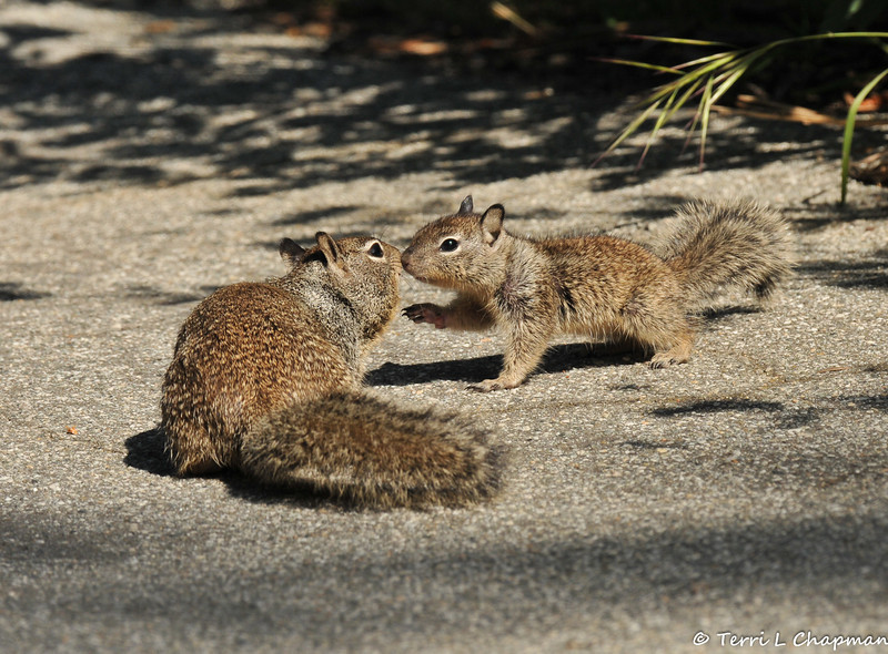 A baby Ground Squirrel greets its mother