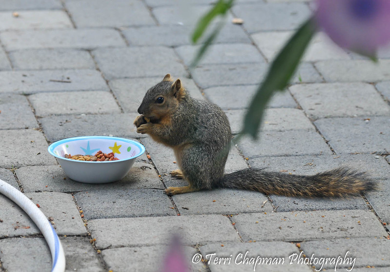 Do you think this baby Fox Squirrel understands that he is eating Friskies Surf and Turf dry cat food???? I had the food out for a cat in the neighborhood and the squirrel obviously enjoyed it!
