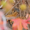 A Fox Squirrel peeking through the Fall colored leaves of a Sweet Gum tree