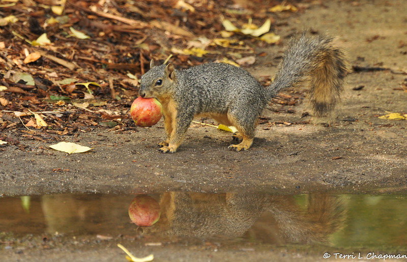 This Fox Squirrel was caught in the act of stealing an apple from the Nature's Table section of Descanso Gardens. On this day we experienced an unusual summer thunder storm and I love that you can see the reflection of this squirrel in the rain puddle.