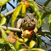 A Fox Squirrel eating an apple