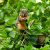 A male Fox Squirrel sitting in a Mulberry tree and snacking on a ripe Mulberry!  This image was featured in the summer 2017 issue of American Forests magazine.