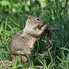 This Ground Squirrel had pulled up this vegetation and was eating something off the roots.