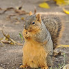 A male Fox Squirrel snacking on a walnut in my backyard