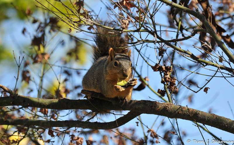 A Fox Squirrel happily munching on a slice of avocado I left out in my garden.