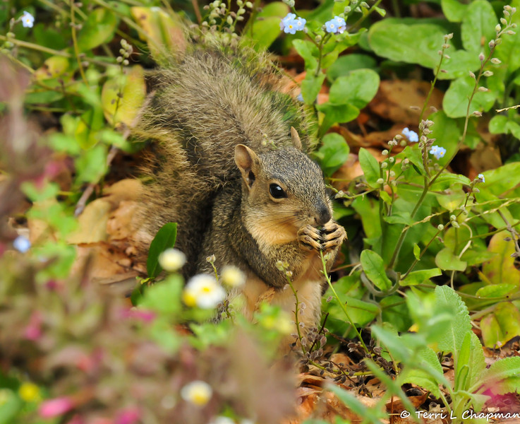 A baby Fox Squirrel snacking on flowers in the garden