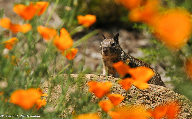 A Ground Squirrel amongst the poppies at Descanso Gardens