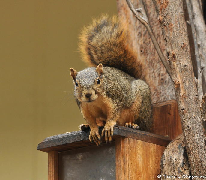A Fox Squirrel perched on a munch box in my backyard and looking for a handout!