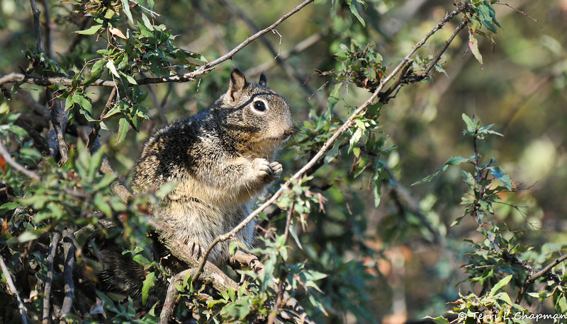 A Ground Squirrel in a Nevin's Barberry Bush