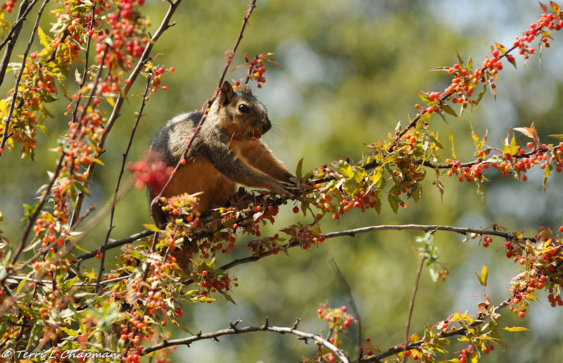 A Fox Squirrel eating berries in a Nevin's Barberry bush