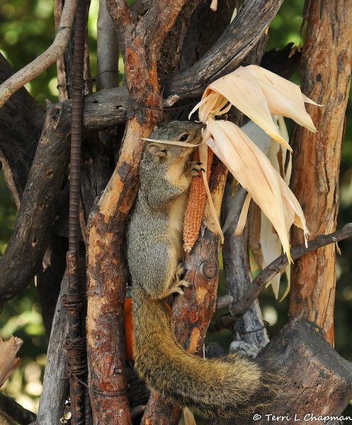 A Fox Squirrel enjoying the edible corn cob, which was part of the Autumn display at Descanso Gardens