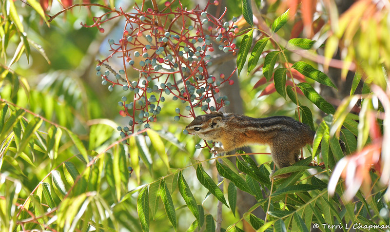 This California Chipmunk climbed up this tree to eat the small berries growing on it.