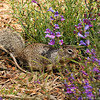 A Ground Squirrel