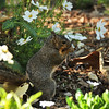 A Fox Squirrel snacking on a daisy