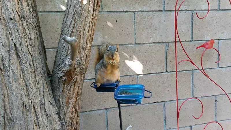 A short video of a female Fox Squirrel enjoying some almond snacks in my backyard on October 6, 2015.