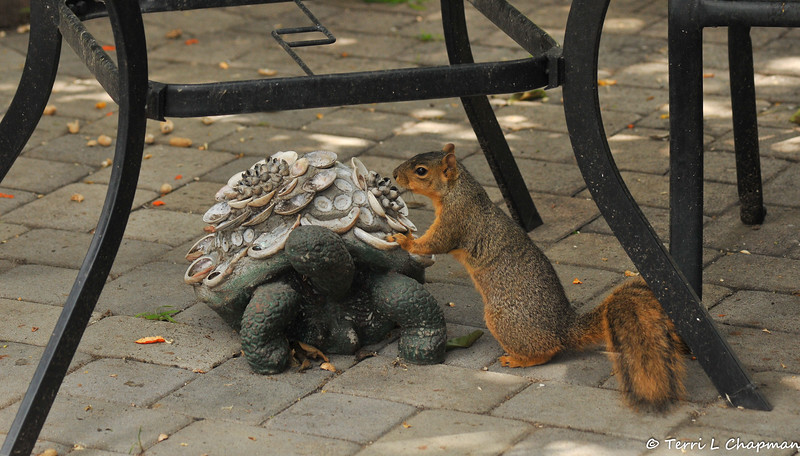 A female Fox Squirrel posing on my tortoise statue. Note the empty peanut shells in the background.
