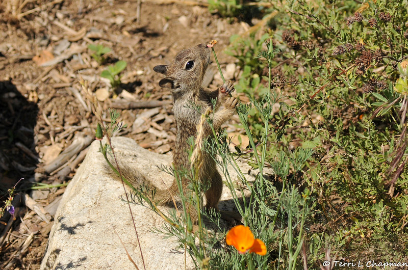 A baby Ground Squirrel sniffing the tip of a poppy stem