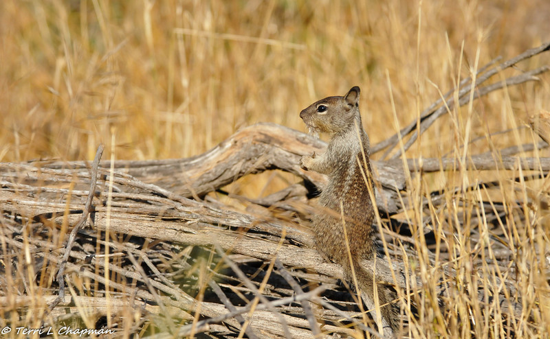 A baby Ground Squirrel eating a weed on top of his home built of sticks