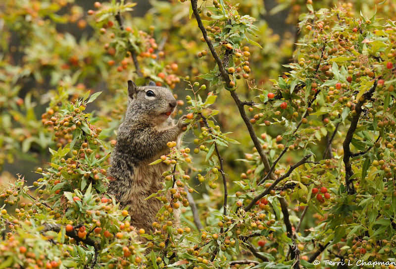 A Ground Squirrel eating berries off a Nevin's Barberry bush.
