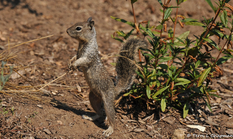 A baby Ground Squirrel on high alert
