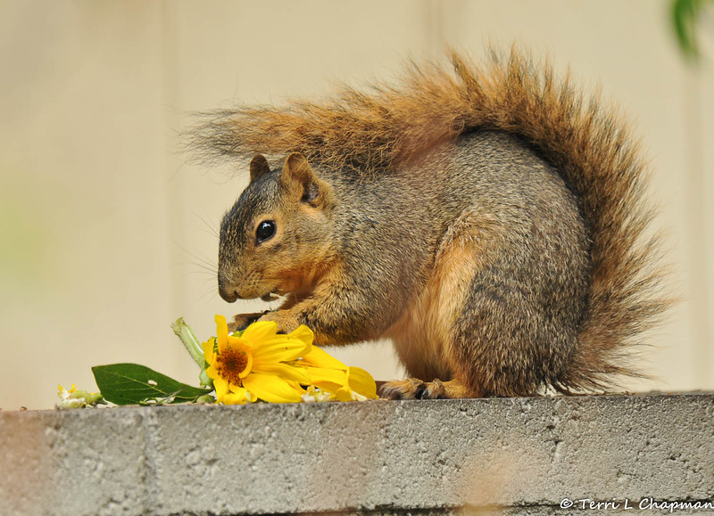 It was a rainy Spring day, so this female Fox Squirrel used her tail as an umbrella as she ate a sunflower from my garden!
