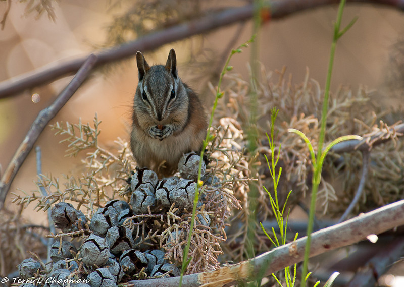 A Chipmunk in the Angeles National Forest