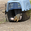 The female Fox Squirrel being released into my backyard. Around 11:00 pm on October 8, 2016 I rescued this juvenile female Fox Squirrel from the grip of two raccoons. The squirrel was injured and I was able to place her in a cat carrier overnight until I could transport her to the California Wildlife Center (CWC) the following morning. The squirrel had brain trauma, and was temporarily blind from its brain swelling, so the prognosis was guarded. But, I remained hopeful that the squirrel could heal with the constant care of the medical staff at CWC. Well, I got a phone call on November 11th that the young squirrel had made a full recovery and I picked her up and released her back into my yard!