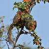 A Fox Squirrel eating blooms off an Apricot Mallow bush