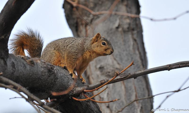 A Fox Squirrel in my garden