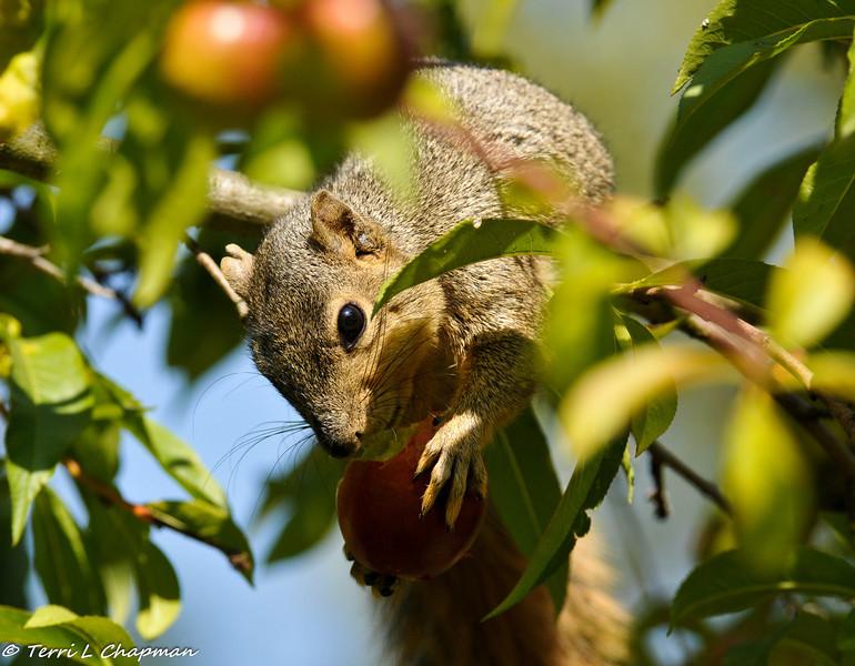 A Fox Squirrel eating an apple
