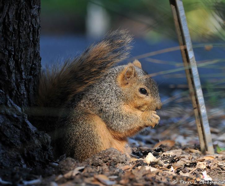 A Fox Squirrel eating breakfast