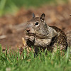 A Ground Squirrel with its mouth full of food!