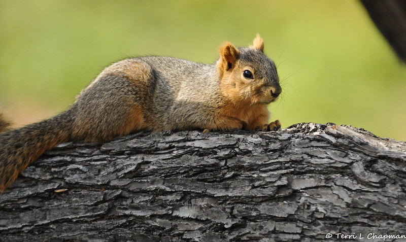 A Fox Squirrel relaxing on an oak tree limb (it was winter and he had extra fur on his ears)