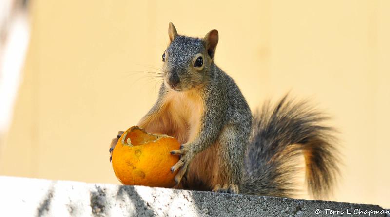 A juvenile Fox Squirrel enjoying an orange in my backyard