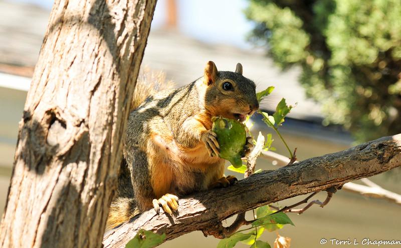 A Fox Squirrel enjoying a fig