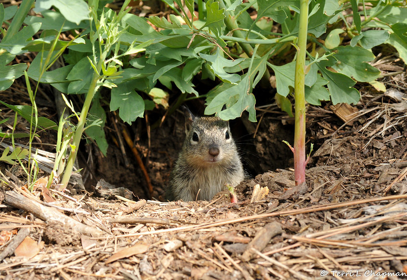 A baby Ground Squirrel peeking out from its burrow