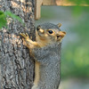 Here is one of the three youngsters that tree trimmers had removed from my neighbor's Palm tree when they were newborns. This youngster is climbing up my Pecan tree and the baby is two months old in this image.