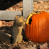 A female Fox Squirrel munching on a pumpkin seed, from a pumpkin at Descanso Gardens, that was part of the Garden's  Autumn display.