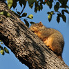 A Fox Squirrel sunning himself on a cold Fall morning